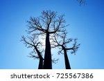 baobab tree at baobab avenue in ... | Shutterstock . vector #725567386