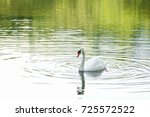 white swan swimming in a lake | Shutterstock . vector #725572522