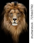 Stock photo portrait of a beautiful lion lion in dark 725663782