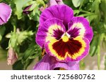 Purple And Yellow Pansy Close Up