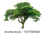 Stock photo samanea saman tree isolated on white background rain tree isolated on white background monkey pod 725700568