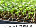 small seedlings of lettuce... | Shutterstock . vector #725701102
