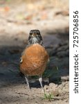 Small photo of American Robin (Turdus migratorius)