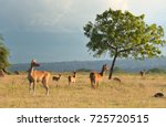 group of deer on sunset in the... | Shutterstock . vector #725720515