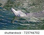 australian humpback dolphins  a ... | Shutterstock . vector #725746702