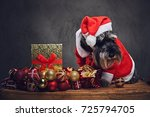 funny schnauzer dog dressed in... | Shutterstock . vector #725794705