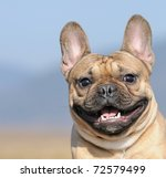 Stock photo young french bulldog puppy months in the field in march 72579499