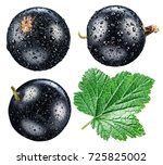 Black Currant With Water Drops...