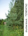 beauty pine tree. into the... | Shutterstock . vector #725854762