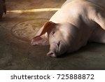 swine sleep in steel cage. pig... | Shutterstock . vector #725888872