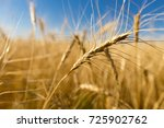 yellow ears of wheat against... | Shutterstock . vector #725902762