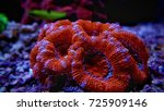 Small photo of Red Acanthastrea lps coral