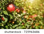 shiny delicious apples hanging... | Shutterstock . vector #725963686
