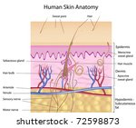 Human skin anatomy, detailed and accurate, labeled - stock photo
