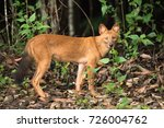 dhole  asiatic wild dog  indian ... | Shutterstock . vector #726004762