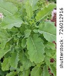 Small photo of Cabbage, eternal, Brassica oleracea, Acephala, medicinal plants; Herbs