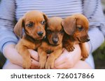 Stock photo dachshund puppy dachshund puppy portrait outdoors many cute dachshund puppy playing outdoor 726017866