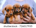 Stock photo dachshund puppy dachshund puppy portrait outdoors many cute dachshund puppy playing outdoor 726017935