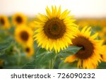 close up of sunflower in the... | Shutterstock . vector #726090232