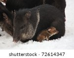 Collared Peccary Lying In The...
