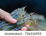 white shrimp on the hands  on... | Shutterstock . vector #726216955