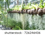 Tillandsia Usneoides In The...