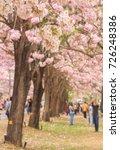 pink tabebuia blooming in... | Shutterstock . vector #726248386