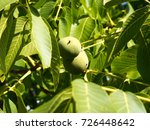fresh walnut | Shutterstock . vector #726448642