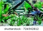 Betta Fish In Aquatic Plant...