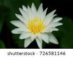 macro shot of a lotus flower .   Shutterstock . vector #726581146