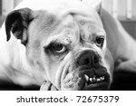 Black And White Bulldog Portrait