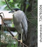 Small photo of Black-crowned night herons tend to be found near most rivers in Florida perched in a tree and most often and don't seem to move around very much.