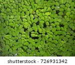 Small photo of Water weed