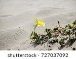 Oenothera Drummondii  Beach...