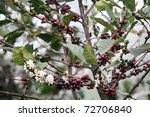 Detail of coffee blossom tree on plantation - stock photo