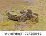 Mudskipper Fish. Amphibious...