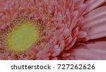 sunflower. the flower head is... | Shutterstock . vector #727262626