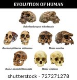 evolution of human skull  ... | Shutterstock . vector #727271278