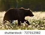 brown bear in the flowering bog.... | Shutterstock . vector #727312582