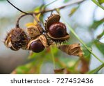 Chestnut  Chestnut On The Tree...
