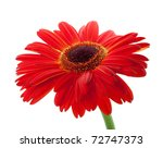 Red gerbera flower. Closeup, isolated on white - stock photo