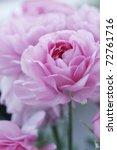 Closeup Of English Roses ...