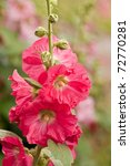 Small photo of Red hollyhock (Althaea rosea) blossoms on a rainy summer day