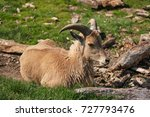 Small photo of Barbary sheep (alternative names: aoudad, waddan, arui, and arruis) resting on grass. African Safari.
