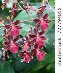 Small photo of Colmanara redcat, abbreviated Colm. in the horticultural trade,[1] is the nothogenus comprising intergeneric hybrids between the orchid genera Miltonia, Odontoglossum and Oncidium.