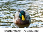 Male Duck Swimming Comfortably...