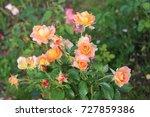 the yellow rosebush in the...
