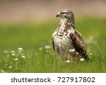 common buzzard  buteo buteo  | Shutterstock . vector #727917802