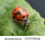Small photo of Macro photo of a ten-spotted ladybug, Adalia decempunctata on leaf