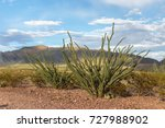 Ocotillo Growing In The...
